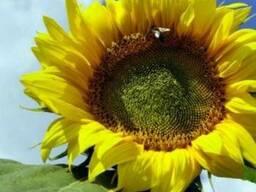 Цвет подсолнечника (лепестки подсолнуха) 50 грамм