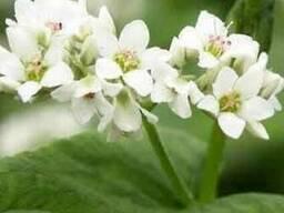 Цветы гречихи (цвет гречки) 30 грамм