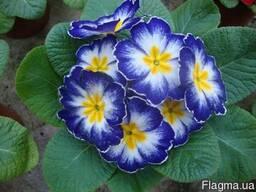 Цветы не дорого Киев, примула, бегония, гиацинт, азалия (044