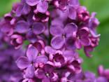Цветы сирени (бузок) - фото 1