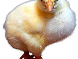 Суточный бройлер, цыплята Кобб 500 (Украина)