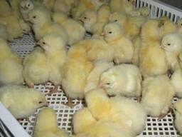 Цыплята бройлера Кобб 500, низкие цены