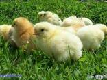 Цыплята бройлеры Кобб-500
