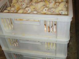 Цыплята-бройлеры от производителя