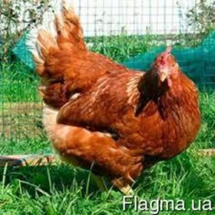 Цыплята Фокси Чик (Красный бройлер)