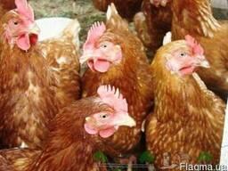 Цыплята Ломан Браун (курочка)