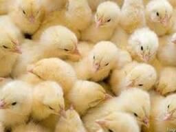 Цыплята Ломан Браун (петушок суточный)