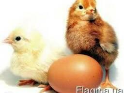 Цыплята мясо-яичные