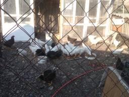 Цыплята нисушки, мясные, домашние в Кропивницком