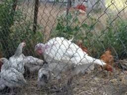 Цыплята подростки 1 месяц крупной породы Мастер грей