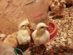 Цыплята суточные и подросшие
