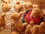 Цыплята суточные и подросшие испанки, голешейка - фото 1