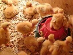 Цыплята суточные и подросшие испанки, голешейка