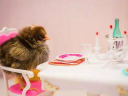 Бройлеры, голошеи, цыплята, подросток