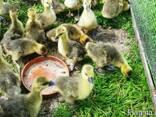 Цыплята, утята, индюшат, гусята ОПТ и розница - фото 2