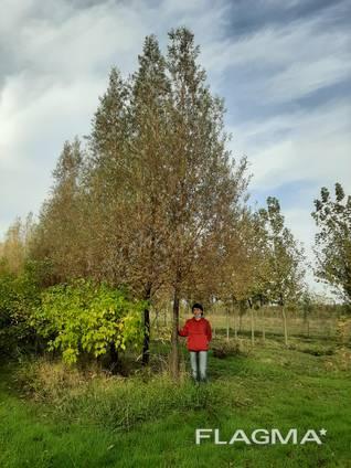 Деревья Крупномеры, лиственные и хвойные