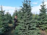 Деревья Крупномеры, лиственные и хвойные - фото 3