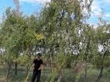 Деревья Крупномеры, лиственные и хвойные - фото 8