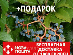 Девичий виноград дикий пятилистный семена(20 шт) для. ..
