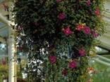 Диссотис круглолистный - Карликовая тибухина. - фото 4