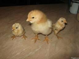 Домашние цыплята Гигант «Кука-реку»