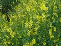 Донник желтый двухлетний (буркун) семена 1т