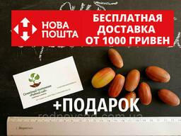 Дуб черешчатый семена (10шт) (дуб обыкновенный или. ..