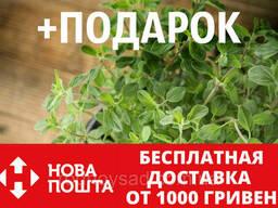 Душица обыкновенная семена (20 шт) орегано, Oríganum. ..