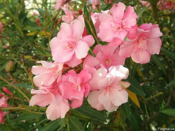Эфирное масло Розовое дерево в Крыму