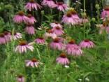 Ехінацеї квітки ( Эхинацеи цветки ) - фото 1