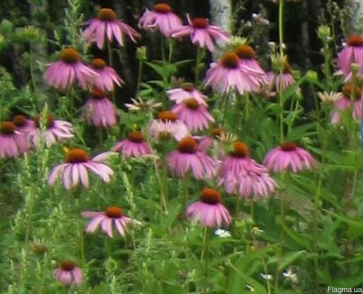 Ехінацеї квітки ( Эхинацеи цветки )
