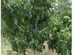 Экспорт привитых саженцев ореха