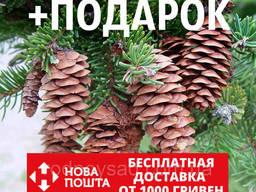 Ель белая семена (50 шт) (ель сизая канадская, Picea. ..