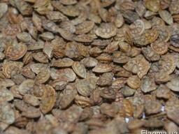 Семена эспарцета Пещаный 1251