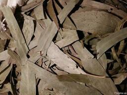 Эвкалипт листья