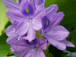 Эйхорния или водяной гиацинт