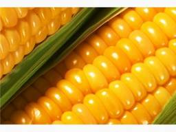 Feed Corn Ukraine Origin Crop 2019