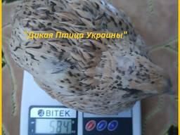 Феникс яйца инкубационные перепела - (France).