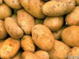 Фермерское хозяйство реализует элитные сорта картофеля
