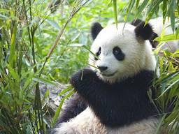 """Фотообои """"Панда и бамбук"""""""
