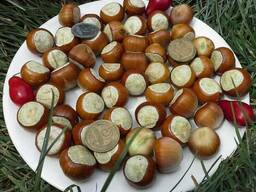 Фундук Трапезунд семена для проращивания