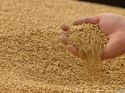 Соя. Фуражна пшениця. Чернігівска, Сумська область.
