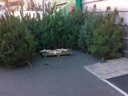 Где в Киеве можно купить новогоднюю сосну 2021 ярмарка елок