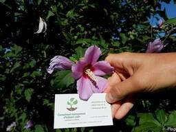 Гибискус древовидный семена(10штук)для выращивания саженцев
