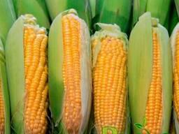 Гибрид кукурузы Аквозор