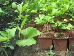 Гинкго билоба двулопастный саженцы, сеянцы, семена.