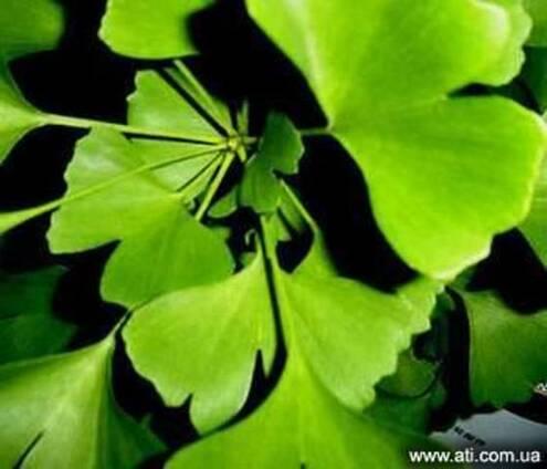 Гинкго лист сушеный