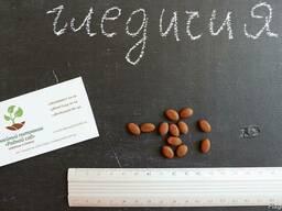 Гледичия трёхколючковая семена 10 шт (семечки) для саженцев.