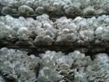 Глива міцелій, мицелий вешенки - фото 1