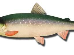 Голец-арктический лосось:Зарыбок, Товарный